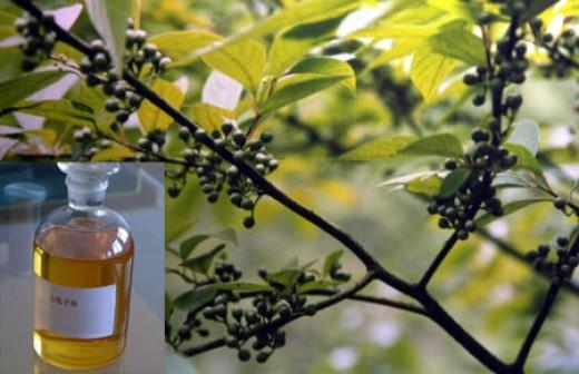 Eucalytus oil used for aromatherapy massage