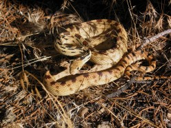 The Great Basin Gopher Snake/a GREAT comedian!!