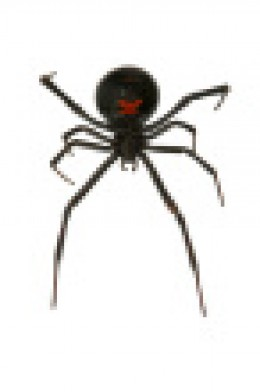 Here is the Black Widow! Her venom -neurotoxin- is the kind meant to paralyze prey.