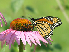 Monarch Butterfly feeding on nectar from an Aster in Canada