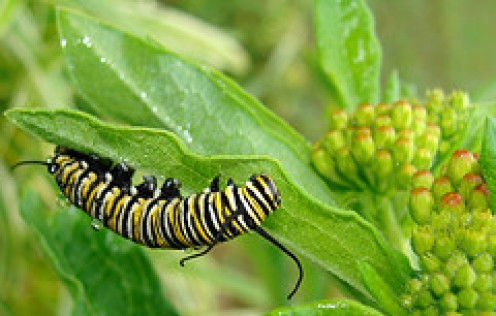The Poisonous Caterpillar showing Warning Coloration munching on Milkweed.