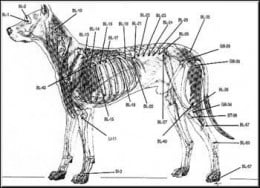Acupunture points on a dog