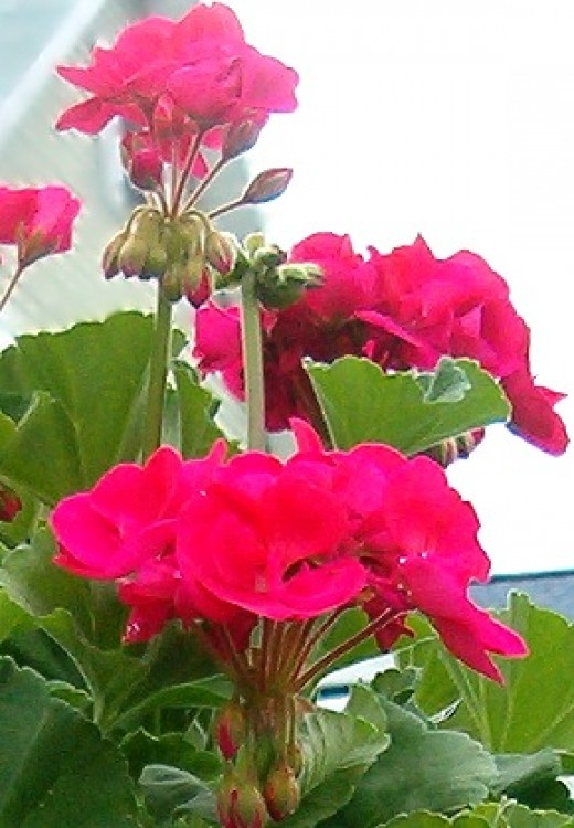 Beautiful geranium flower