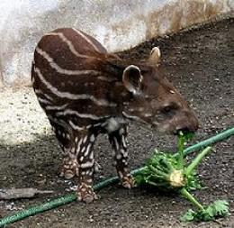 Brazilian Tapir Endangered Status | RM.