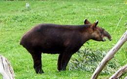 Tapirs -- Endangered Species