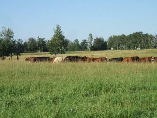 Stocker steers on good pasture