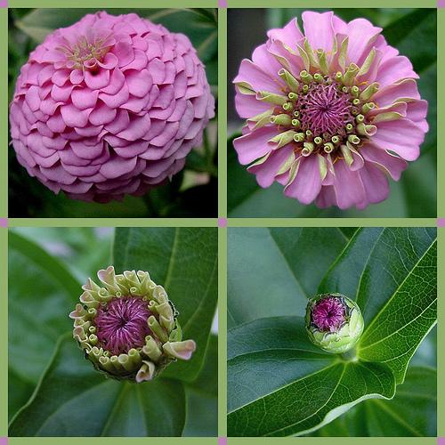 Pink Zinnia blossoms