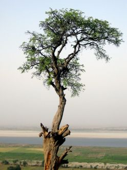 Lone tree atop the  hillock on the eastern side of Munger. The Ganges near the horizon.