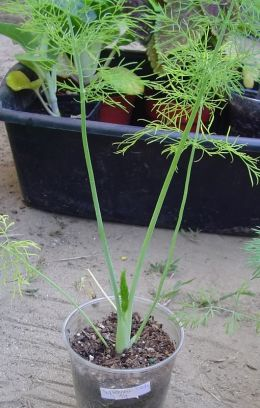 Fennel plant pic at 68 days