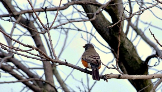 A robin in Illinois -- spring moves north.