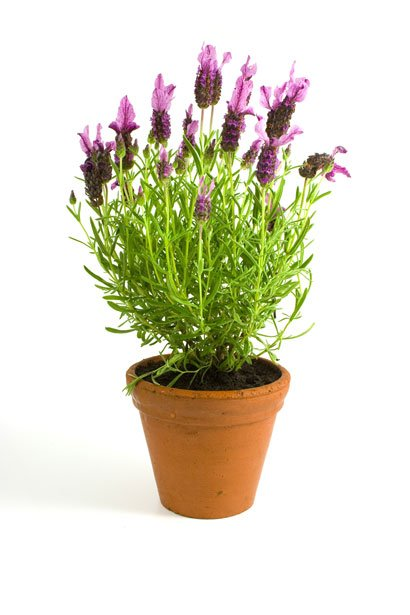 Lavender makes a great pot plant