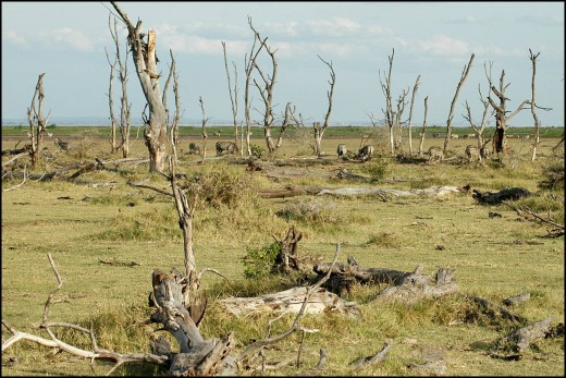 SAFARI IN KENYA affected by El Nino (Courtesy of http://www.liv.ac.uk/)