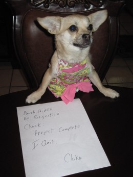 Chika tendering her resignation declaring that thirty days work was enough for this chihuahua