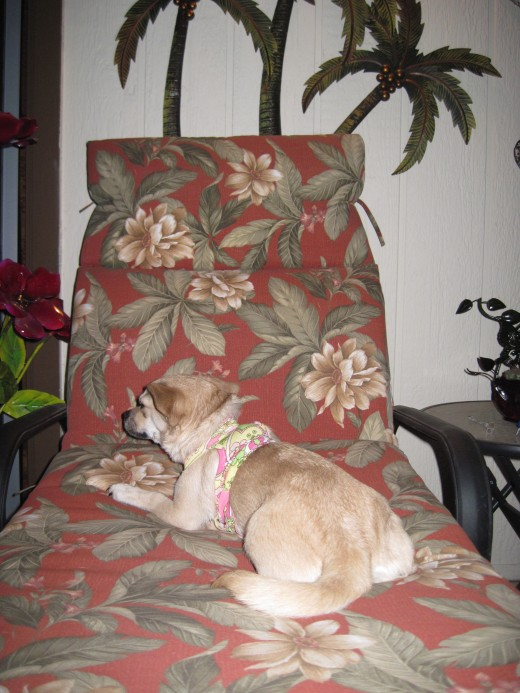 Her 30 day work assignment completed the little chihuahua, Chika, retires to a tropical hideaway.