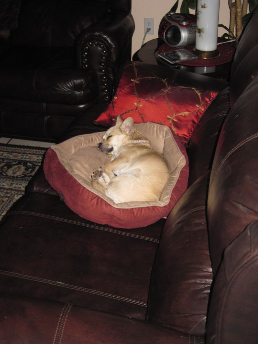 Tucked comfortably in her bed, this chihuahua catches up on her sleep.