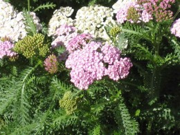 Light pink white yarrow medicinal flowers