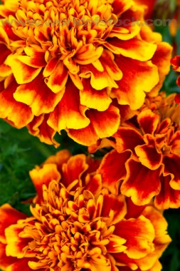 Amazingly beautiful marigold flowers