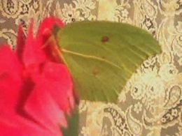 The yellow butterfly comes to pay a visit 2