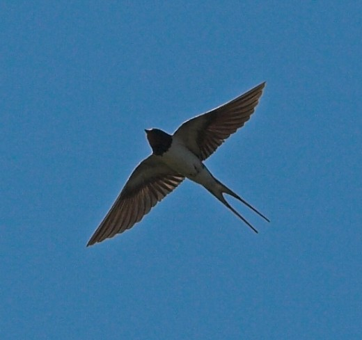 The swallow possesses amazing aerial skills. Photograph courtesy of Thermos.