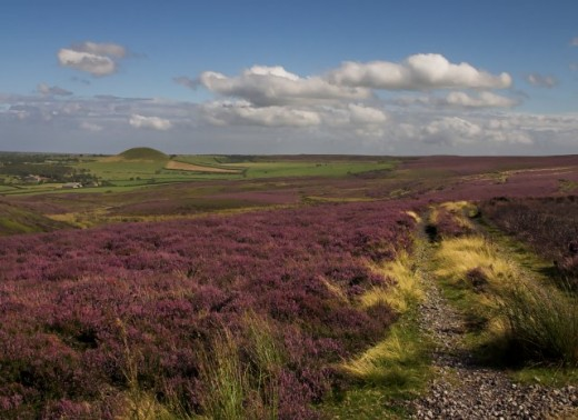 Pennine heather is a remarkable sight. Photograph courtesy of Colin Grice.
