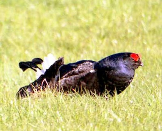The male black grouse is an elusive bird, wary of man.