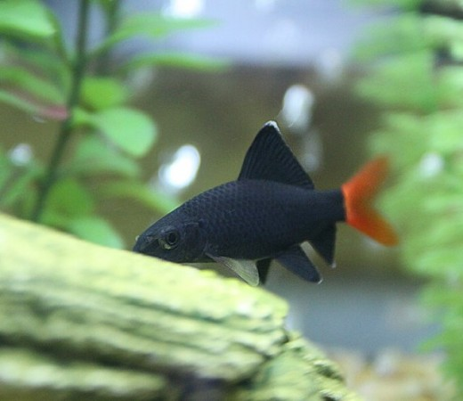 Image from: http://badmanstropicalfish.com/species-gallery/cyprinid/bicolor.html
