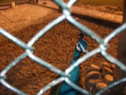 Peacock in Racecourse Park
