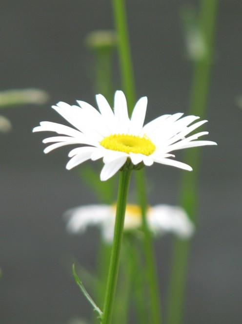 This picture has a lot of bokeh, but the daisy is clear. Notice how it enhances the object that the photographer  is focusing on.