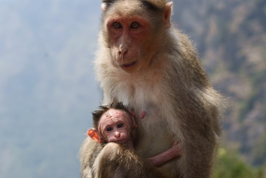 A monkey with its child