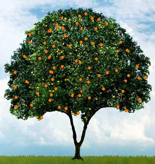 30 feet in height orange tree