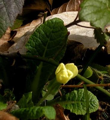 primrose's bud