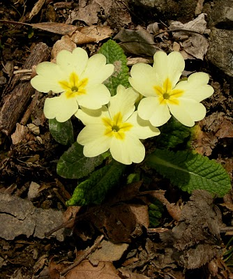 a trio of primroses