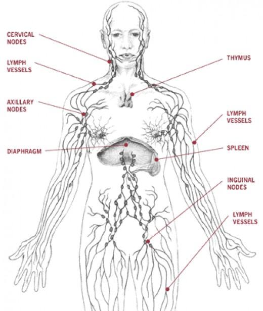 Lymphatic System Lymph Nodes