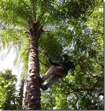 Source of the PALM WINE.