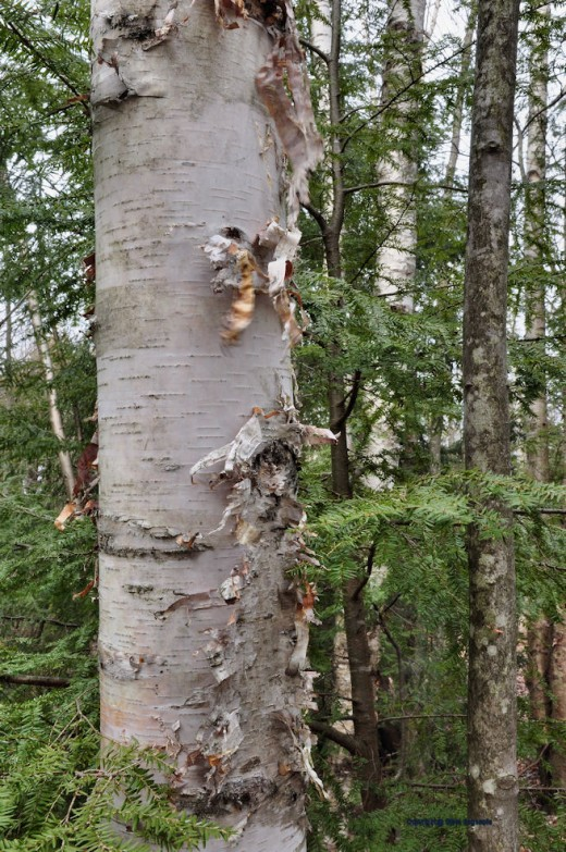 A birch near the creek sheds its outer layer of older bark baring young, living bark that was beneath it.