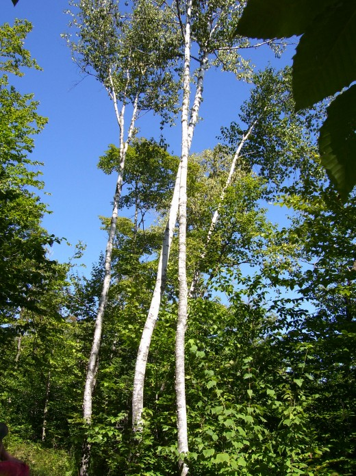 White birch trees on the property in Lee