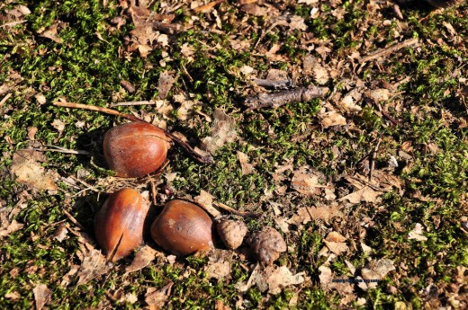 Acorns begin to crack with new life.