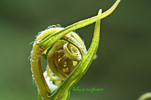 young leaf of fern showing a future crozier