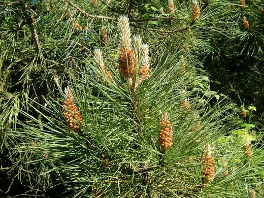 Pinus sylvestris or pine tree