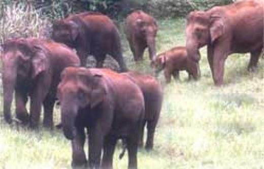 The Elephants in Thekkady