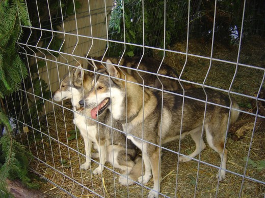 Wolves and Were-wolves feature heavily in the folklore of Limousin