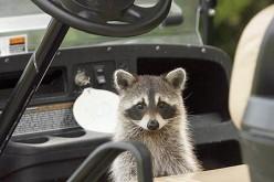 Have You Met A Raccoon