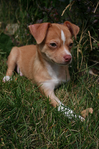 Meet Lio, our wonderful chihuahua.