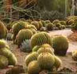 A Cardon Cactus:  Fruit and Facts