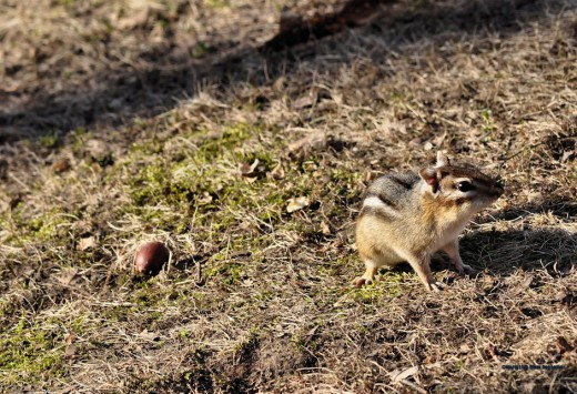 An eastern chipmunk eyes the yard after leaving its burrow.