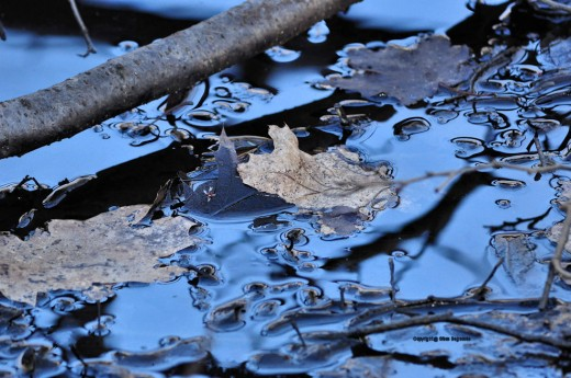 Leaves rest in the muck of the swamp. Pockets of water reflect the blue sky of early evening.