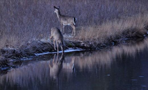 Deer visit the Big Sable River at Ludington State Park, Michigan, on a spring evening.
