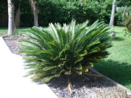 The Sago Palm