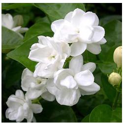 Beautiful jasmine flowers, white and star shaped