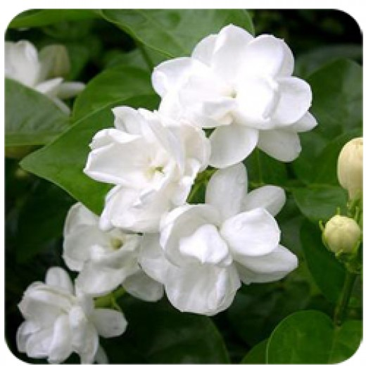 Beautiful jasmine flowers, white and star shaped